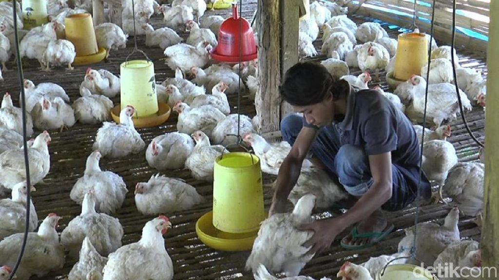 Bibit Ayam Dikurangi, Harga di Tingkat Peternak Diklaim Membaik