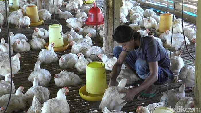 Harga ayam di Lamongan anjlok hingga Rp 6 ribu per kilogram. Anjloknya harga membuat para peternak memilih menunda panen.