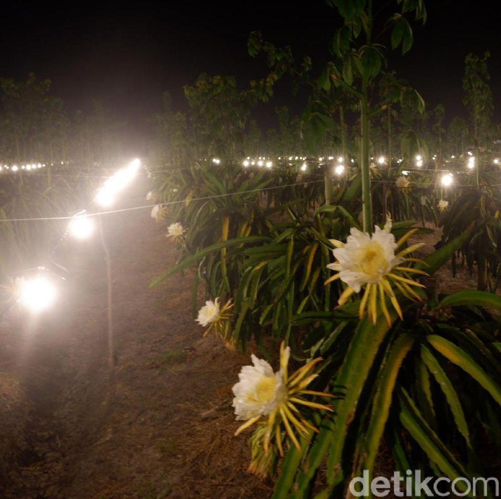 Di Bulan Tanpa Huruf R, Buah Naga Butuh Sinar Lampu untuk Berbunga?