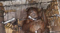 Penyelundupan 7 Orangutan hingga Luwak Digagalkan di Riau