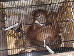 Diserahkan ke BBKSDA Riau, Begini Kondisi Orang Utan yang Gagal Diselundupkan