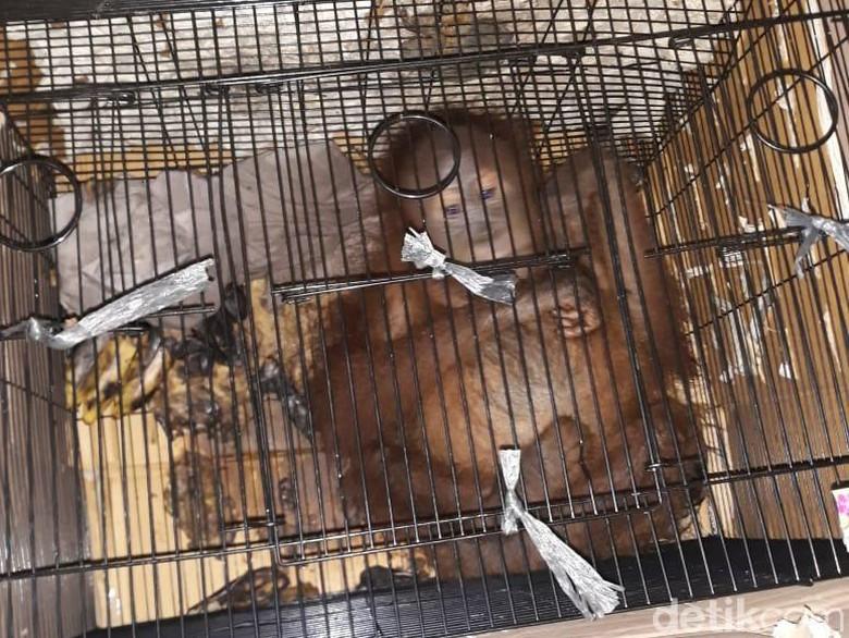 Penyelundupan 7 Orang Utan hingga Luwak Digagalkan di Riau