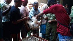 Harga Jatuh, Ribuan Ayam Dibagikan Gratis di Semarang