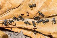 Semut peluru yang berwarna hitam (iStock)