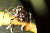 Semut peluru yang gigitannya berbahaya tampak dari dekat (iStock)