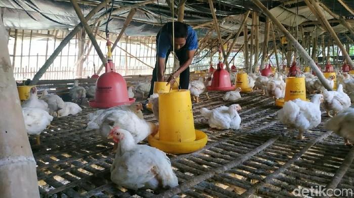 Anjloknya harga ayam broiler membuat para peternak di Tulungagung kalang kabut. Untuk mengurangi risiko kerugian, para peternak menunda masa panen dan mengganti pakan.