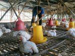 Dinas Peternakan Jatim Turun Tangan Atasi Anjloknya Harga Ayam