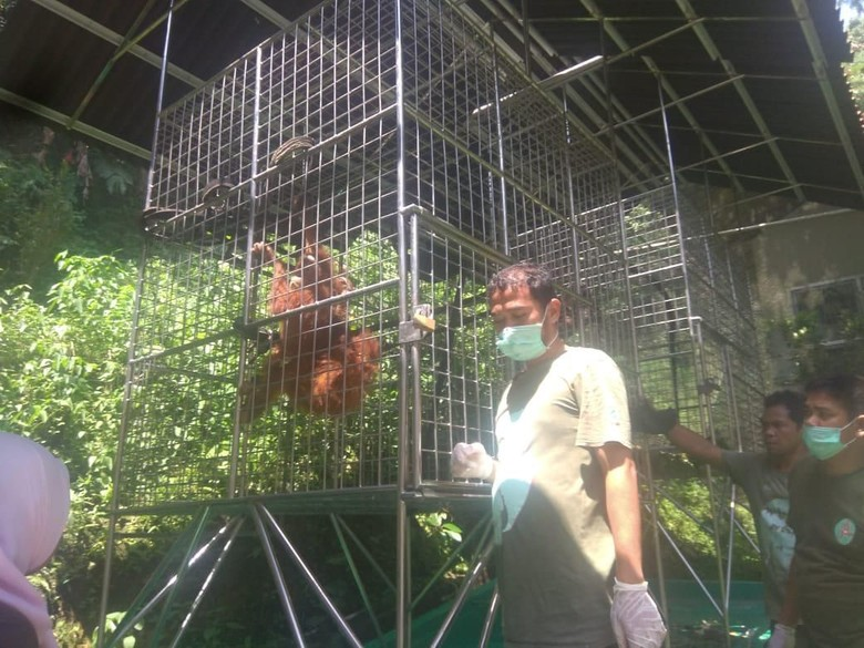 3 Orang Utan dari Riau yang Gagal Diselundupkan Dipindah ke Sumut