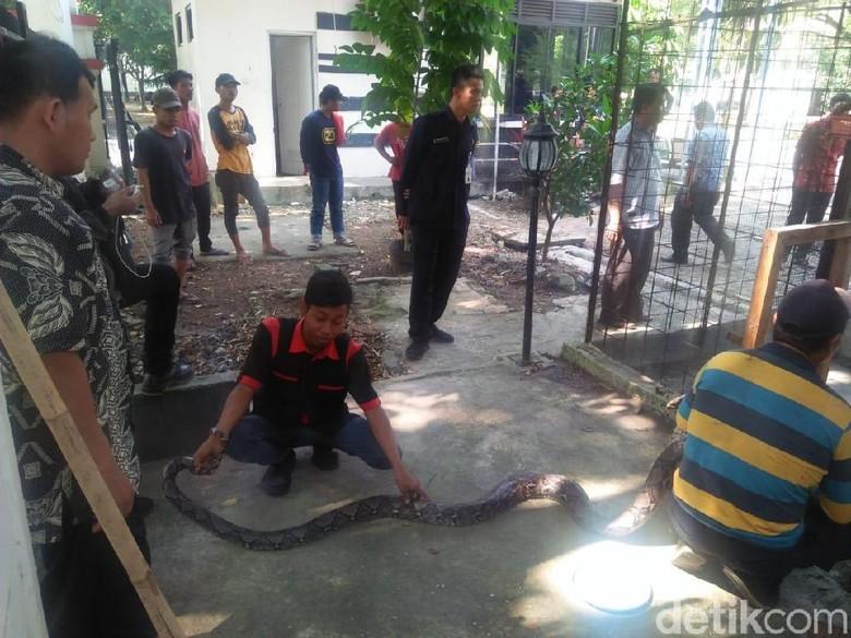 Ular Sanca 3,5 Meter Ditemukan di Pendopo Lama Gubernur Banten