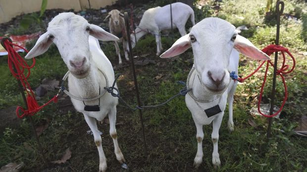 Daging kambing dianggap punya efek meningkatkan vitalitas pria.