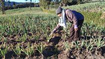 Di Kawasan Gunung Bromo, Embun Upas Mulai Rusak Kebun Sayur Warga