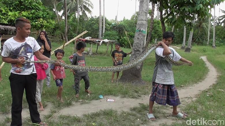 Warga Polman Tangkap Ular Piton 4 Meter yang Kerap Mangsa Ternak