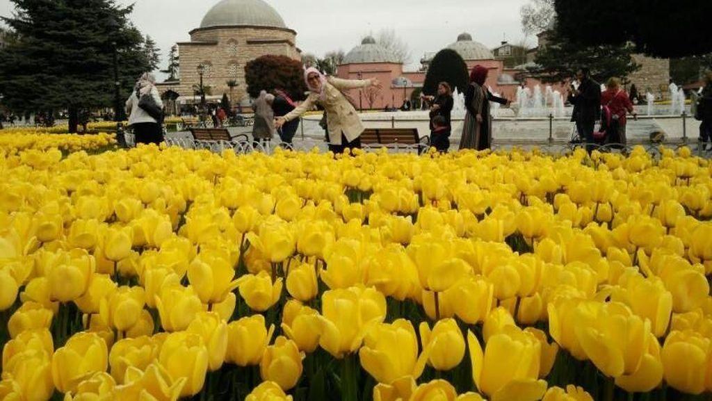 Bukan Belanda, Aslinya Bunga Tulip dari Negara Ini
