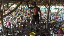 Kelompok Peternak di Mojokerto Beberkan Penyebab Harga Ayam Anjlok