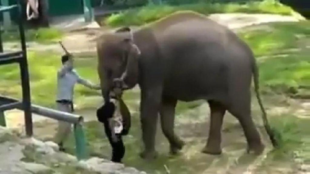 Video Gajah Kesakitan Dipukul Viral, Disparpora Bukittinggi Minta Maaf