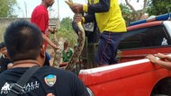 BKSDA Jabar Evakuasi 2 Ular Piton Temuan Warga di Sungai Citarum