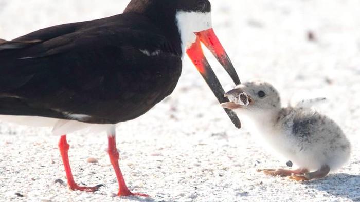 Burung laut ini disebut menyuapi anaknya puntung rokok. (Foto: Tangkapan layar Facebook)