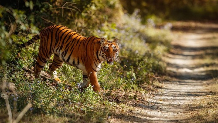 Ilustrasi harimau (Foto: iStock)