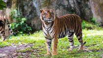 Tak Hanya Manusia, Harimau di New York Pun Positif Corona