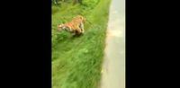 Lagi Asyik Riding, Pengendara Motor Ini Dikejar Harimau.