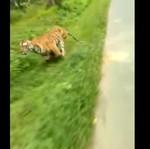 Lagi Asyik Riding, Pengendara Motor Ini Dikejar Harimau