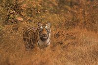 Harimau benggala di Wayanad Wildlife Sanctuary (iStock)