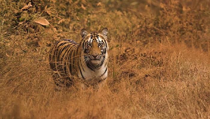 Ilustrasi Harimau. (Foto: iStock)