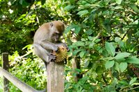 Tertangkap Curi Durian, Monyet Ini Diberi Hukuman Oleh Pemilik Kebun