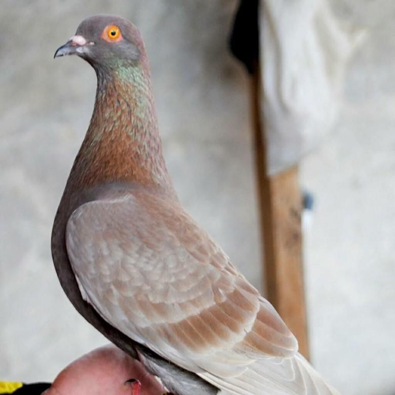 Unduh 75  Gambar Burung Merpati Mahal HD Paling Unik Free