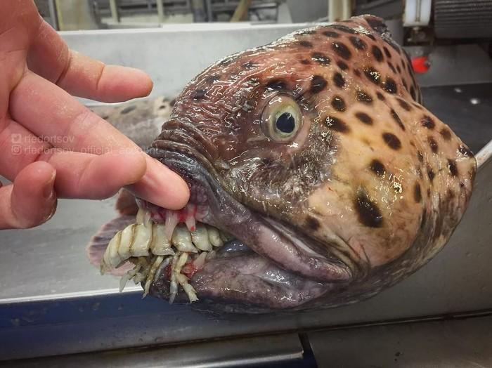Unduh 6000 Koleksi Gambar Ikan Elmo Terpopuler