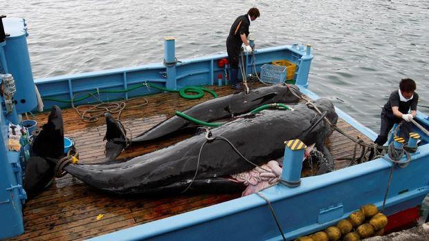 Jepang kembali berburu ikan paus untuk komersil sejak Senin (1/7/2019). Perburuan ini sebelumnya sempat dihentikan selama hampir 33 tahun.