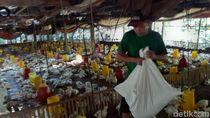 Harga Ayam Broiler Mulai Normal Belum Membuat Peternak Tenang