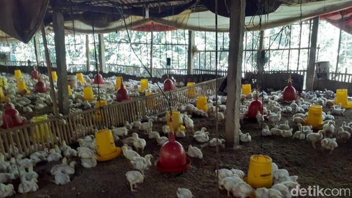 Peternak ayam broiler di Gunungkidul belum semuanya memulai usahanya lagi pasca anjloknya harga ayam, (3/7/2019).