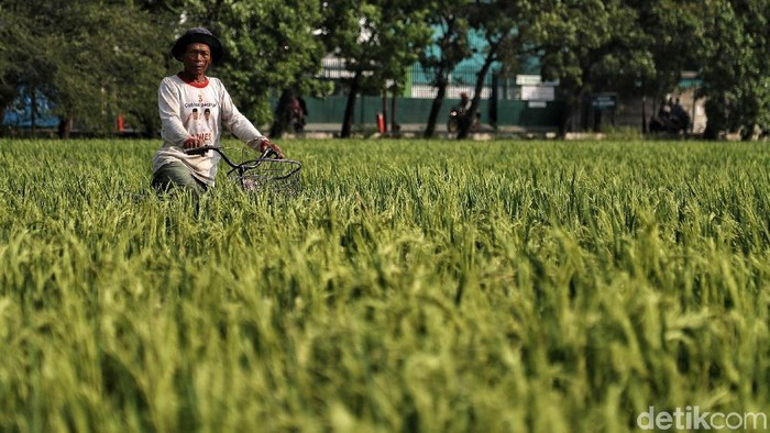 Sejumlah petani beraktivitas di lahan sawah kawasan Rorotan, Jakarta Utara, Rabu (3/7/2019).
