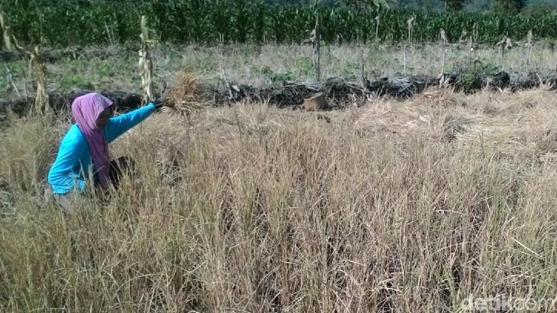 5.290 Hektare Padi di Wonogiri Mengering, 916 Hektare Diantaranya Puso