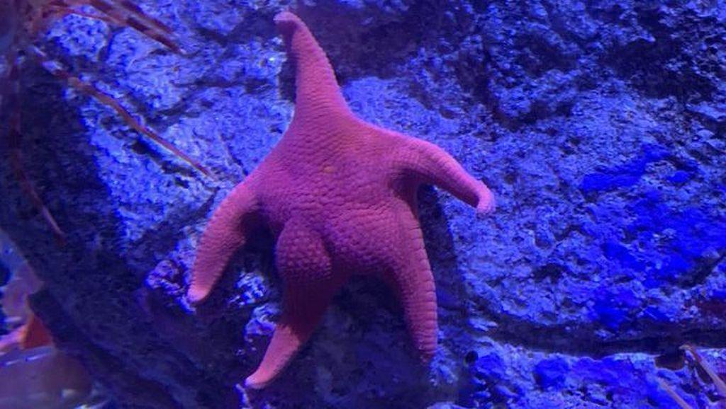 Bintang Laut Ini Viral karena Bokong & Patrick SpongeBob