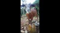Bukan Rumput Tapi Kambing Ini Justru Doyan  Durian