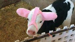 Gemas, Petani Baluti Kepala Bayi Sapi dengan Topi Rajutan