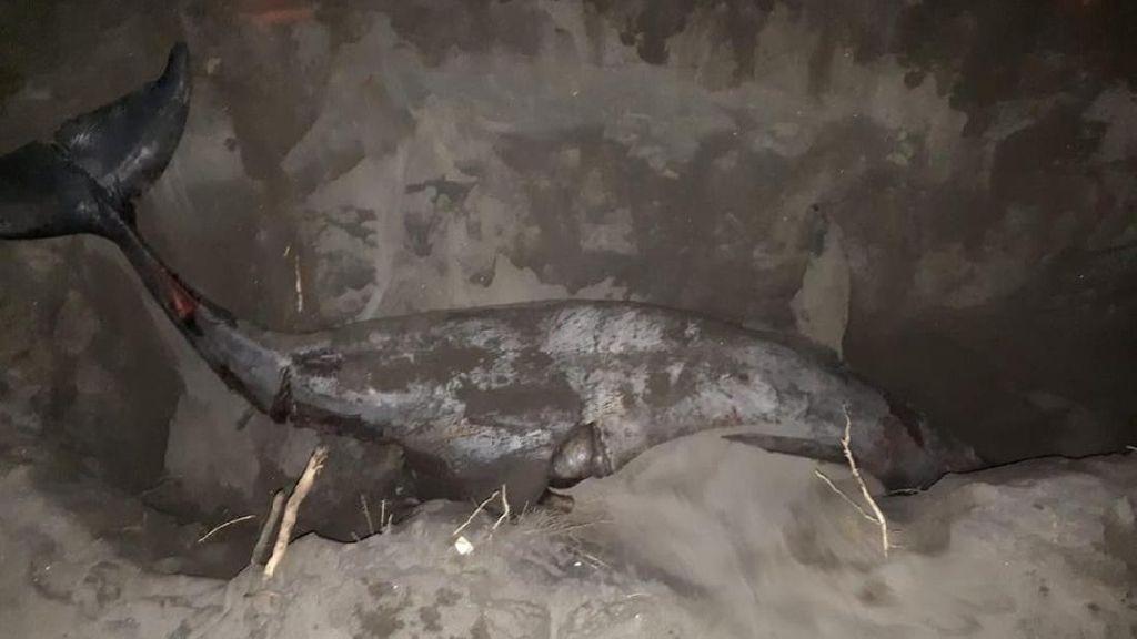 Seekor Lumba-lumba Mati Terdampar di Pantai Bantul, Siripnya Terpotong