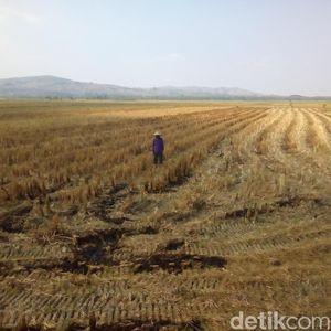 Aceh Kekeringan, 2.490 Hektare Sawah Terancam Gagal Panen