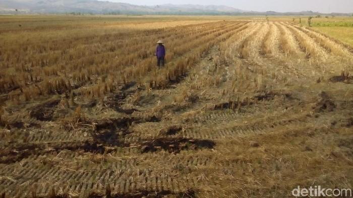 Petani Sutarmi saat beraktivitas di sawahnya di Desa Terkesi, Kecamatan Klambu, Kabupaten Grobogan. Foto: Akrom Hazami/detikcom
