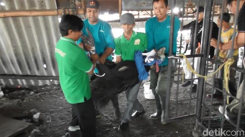 Dikandang Bareng Kambing, 2 Burung Kasuari di Semarang Dievakuasi
