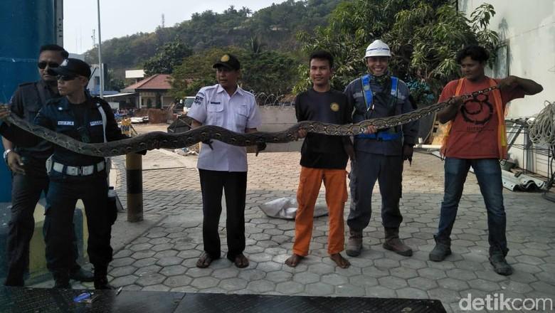 Ular Sanca Sepanjang 4 Meter Ditemukan di Pelabuhan Merak