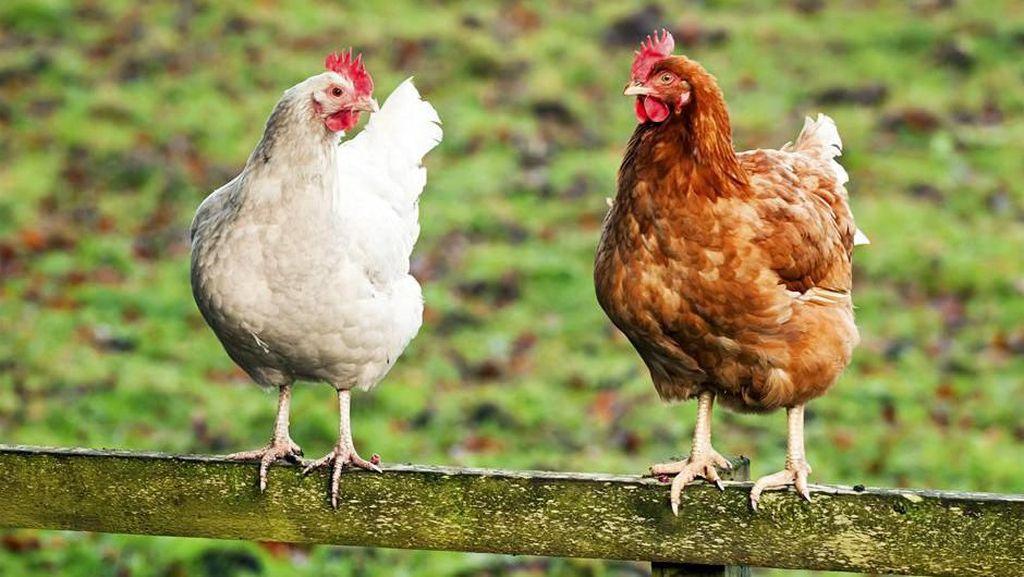 Tak Boleh Bawa Ayam Hidup di Kereta, Wanita Ini Nekat Potong Ayam di Stasiun