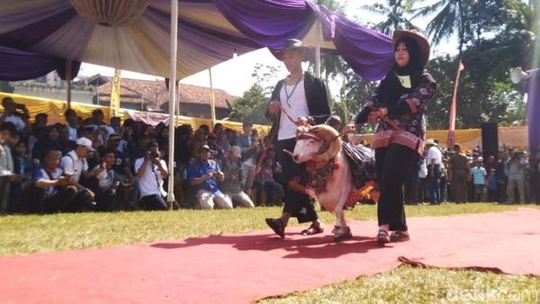Sesuai namanya, di festival ini para domba berlagak seperti model menunjukan kebolehan dituntun oleh pemiliknya. Para domba juga di dandani dengan kostum dan aksesoris. (Dadang Hermansyah/detikcom)