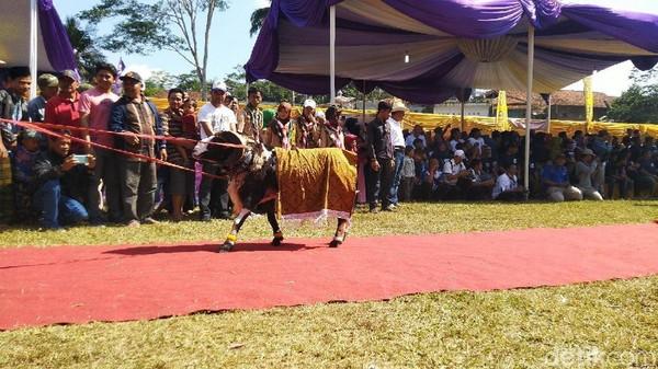 Domba diharuskan berputar atau menunjukan kegagahannya untuk kemudian dinilai oleh juri dari Himpunan Peternak Domba dan Kambing Indonesia (HPDKI). (Dadang Hermansyah/detikcom)