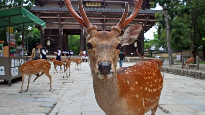 Nara, Japan - June 30, 2008: Sika Deer mob a visitor for food. The deer enjoy protected status at Nara Park. 1200 of them roam the area looking for deer-crackers (Shika-senbei) from visitors. Vendors sell them in the park, which is also the site of the three shrines: T?dai-ji, K?fuku-ji, and Kasuga Shrine.
