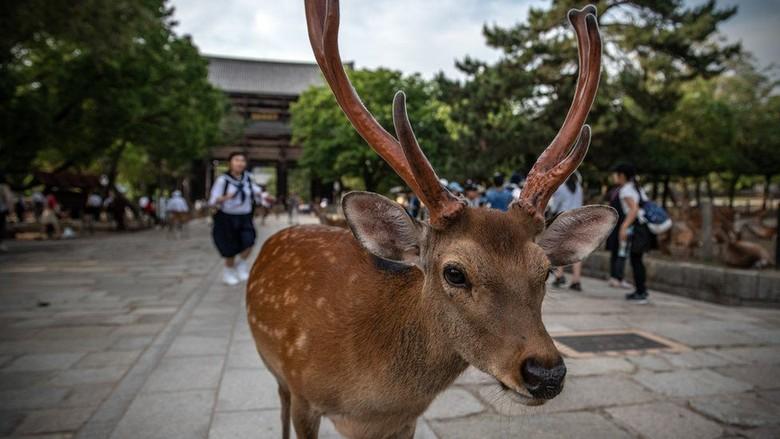 Duh! Telan Kantong Plastik, 9 Rusa Mati di Taman Nasional Jepang