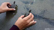 Ratusan Tukik Tuntong Laut Dilepas ke Habitatnya