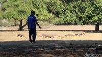 Komodo di Pulau Rinca (Abdul haris/detikcom)